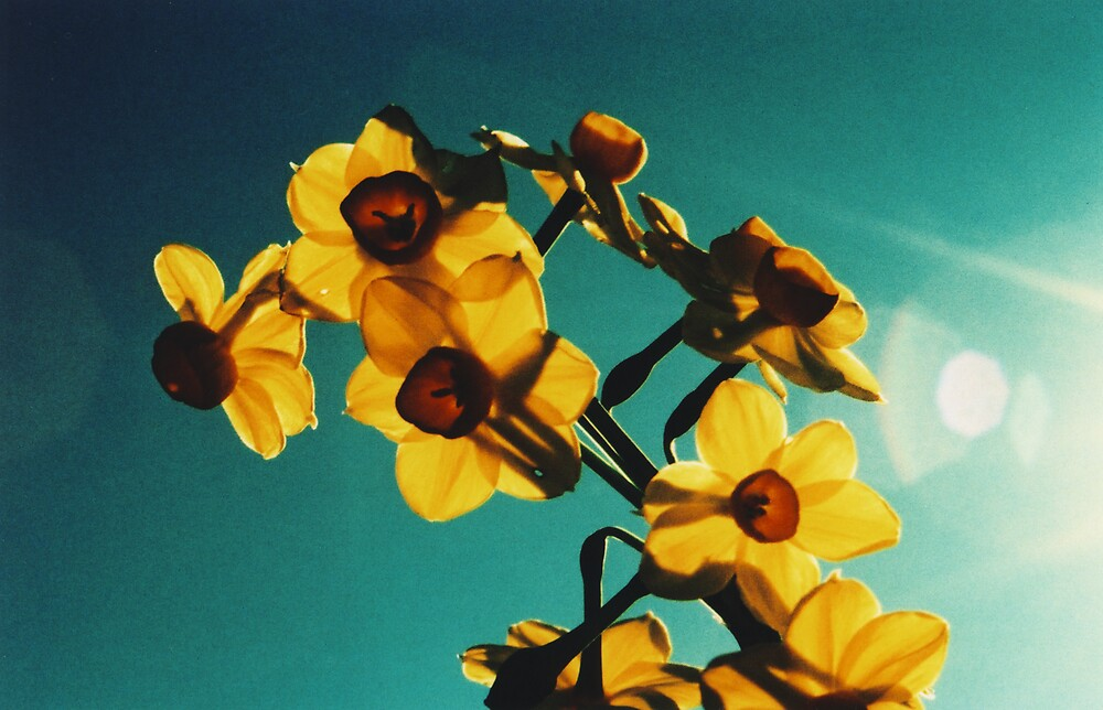 Jonquils7 by danno