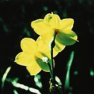 Jonquils8 by danno