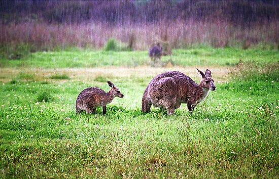 Soggy Roos by John Barratt