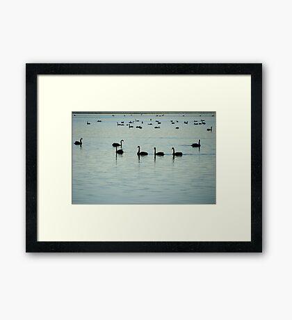 Swans - Lake Wollumboola Framed Print