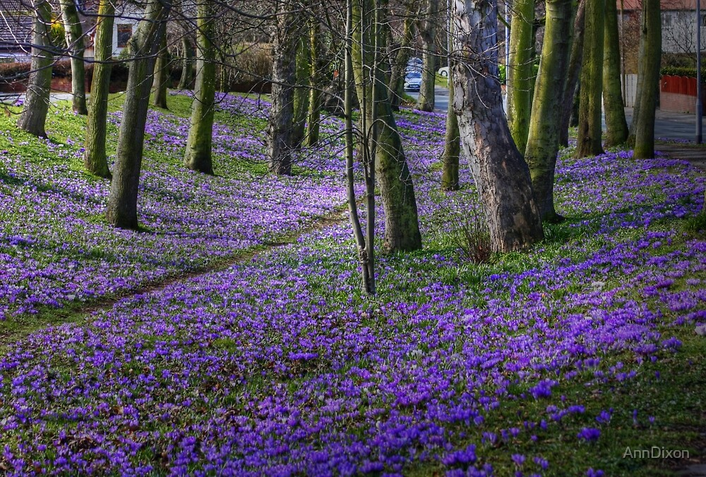 Crocus Carpet in March by AnnDixon