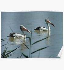 Pelicans on the Murray River Poster