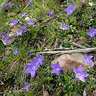 Bluebells, Mt. Buffalo, Victoria, Australia. by kaysharp