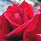 Rose Petals 2 by georgiegirl