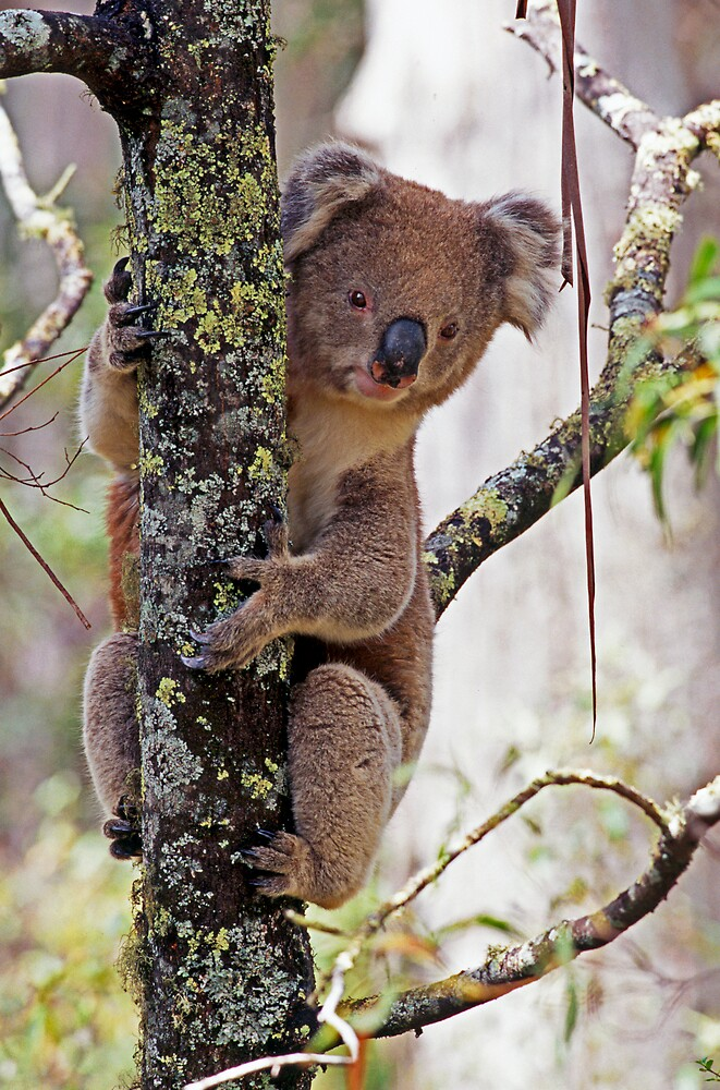 Koala in Wet Forest by Bruce  Thomson