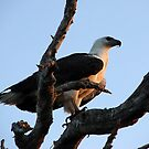 White Breasted Sea Eagle by Brett Habener