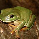 Green Tree Frog by Brett Habener