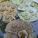 Lily Drops by Brett Habener