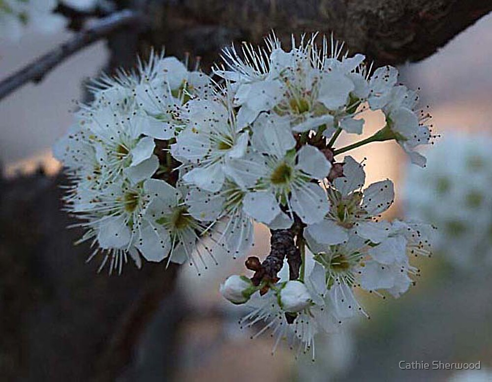Apple Blossom in the Evening by Cathie Sherwood