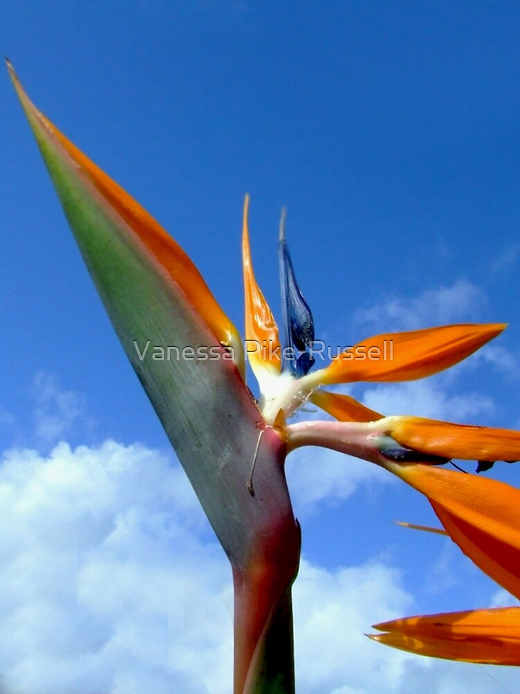 Bird of Paradise Flower by Vanessa Pike-Russell