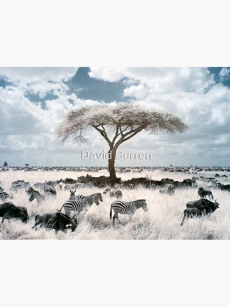 Infrared acacia by DavidBurren