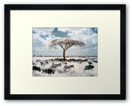 Infrared acacia by David Burren
