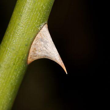 Sharp thorn by stetner