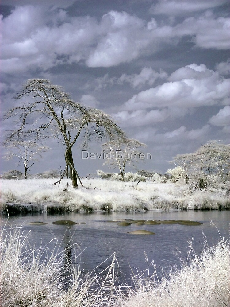 Infrared Hippos by David Burren
