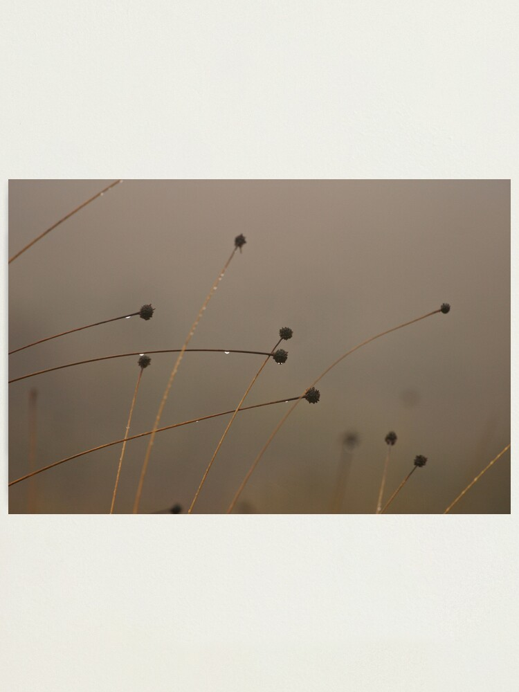 Alternate view of Button-grass in the rain Photographic Print