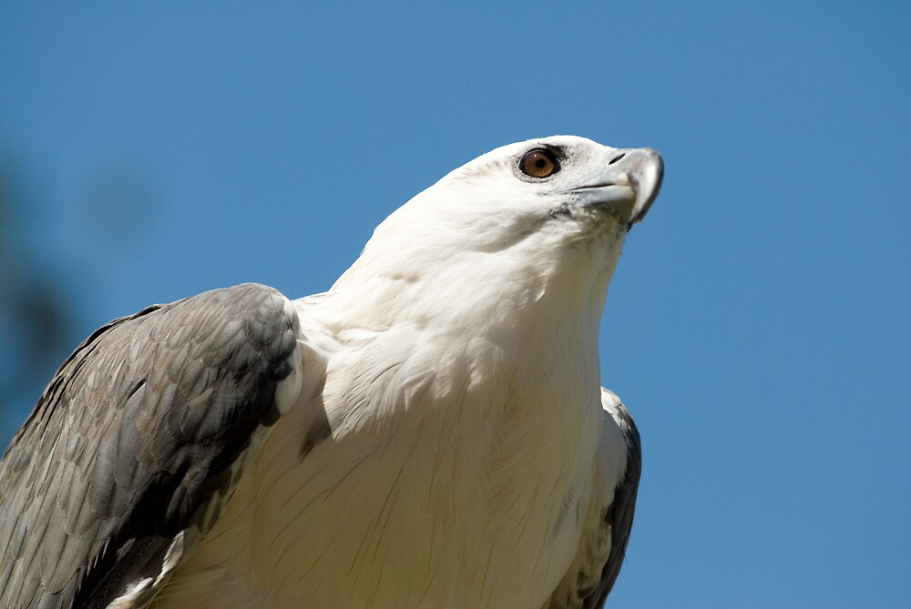 White Bellied Sea Eagle by Craig Goldsmith