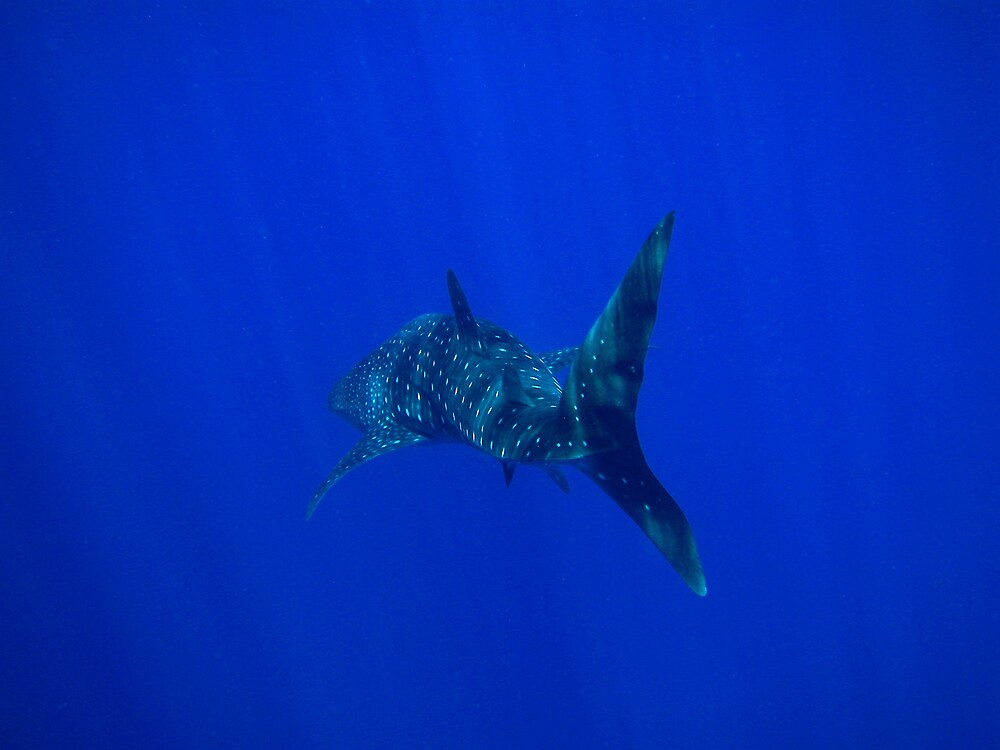 Whale Shark 1 by Grey