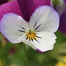 Garden Pansy by camerahappy
