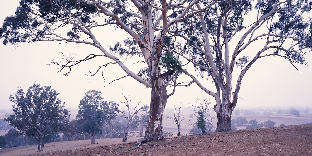 Grey Gums - Balmoral - Victoria by James Pierce