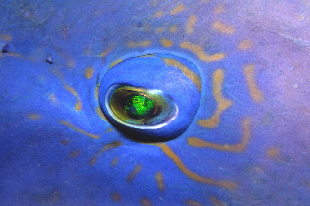 Blue Grouper eye by Grey