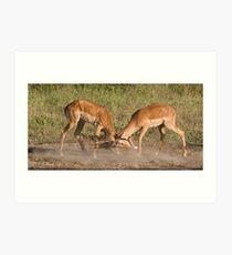 Impala scuffle Art Print