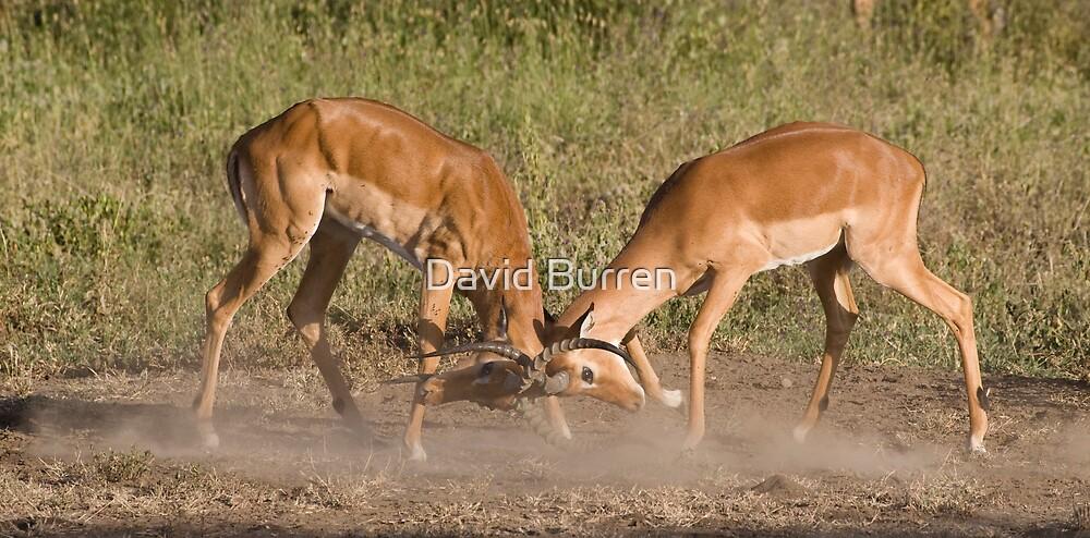 Impala scuffle by David Burren