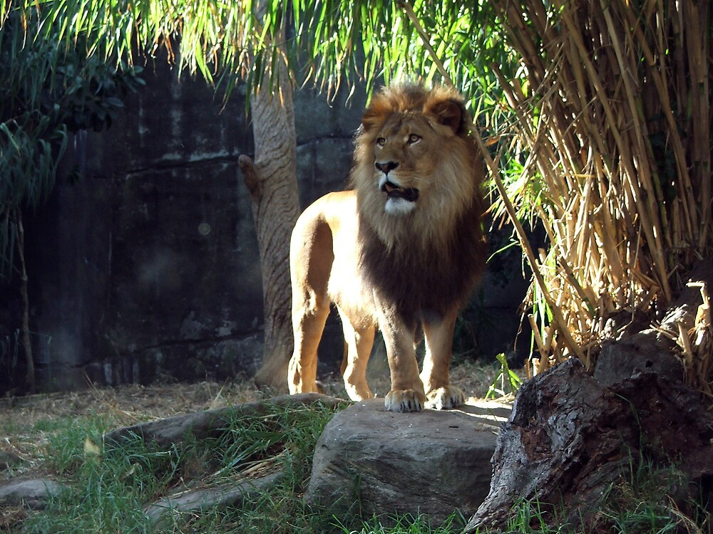 lion by simonsinclair