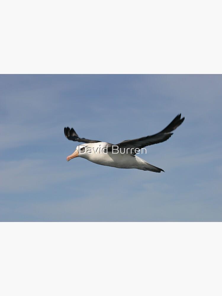 Black-browed Albatross by DavidBurren