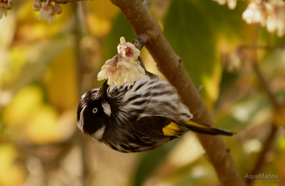 New HollandHoneyeater by AquaMarina
