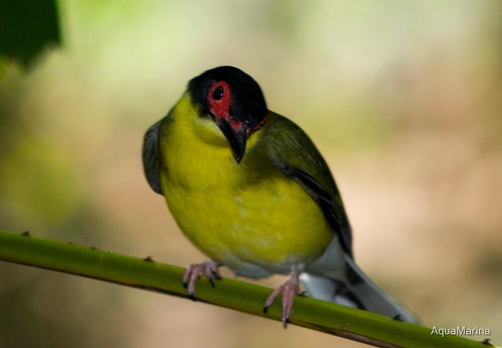 Figbird by AquaMarina