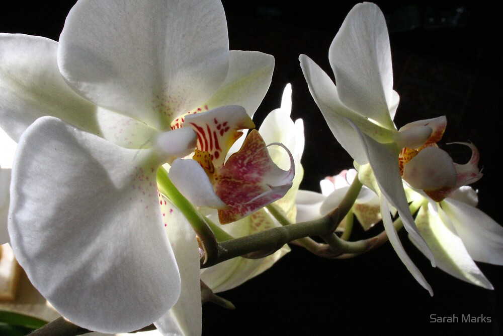 Orchids by Sarah Marks