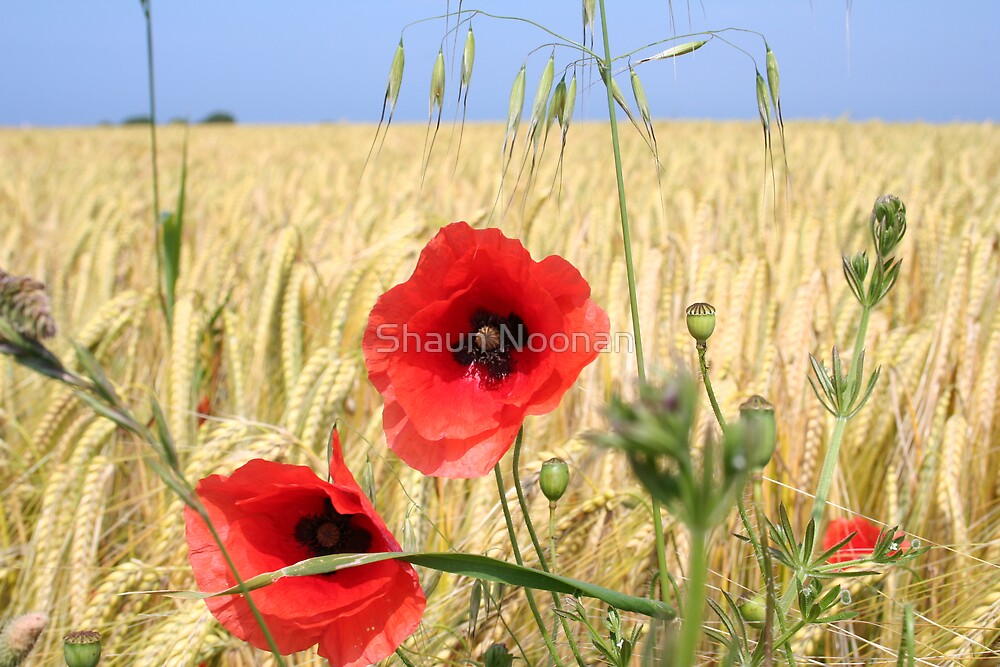 Normandy Poppies by Shaun Noonan