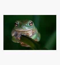 Green Tree Frog on a branch Fotodruck