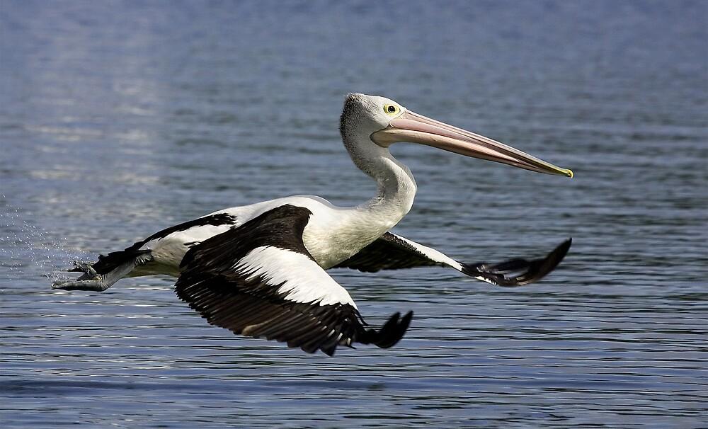Pelican in Flight by Jenni Horsnell