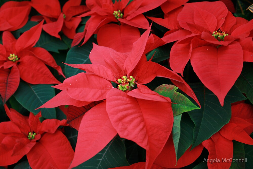 Poinsettia by Angela McConnell