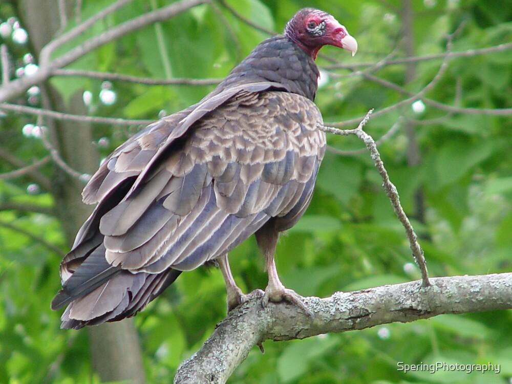 Turkey Vulture by SperingPhotography