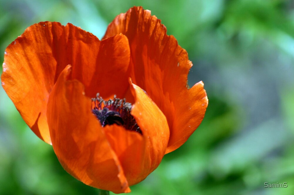 Summer Flower by SamimS