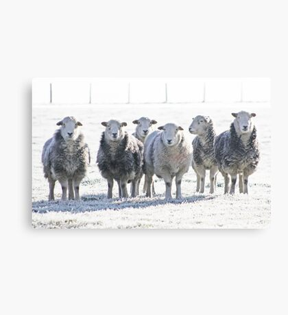 Herdwick Sheep Canvas Print