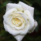 White Rose in the Rain by AnnDixon