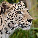 Persian leopard portrait by David Carton