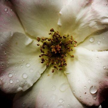 Antique Rose by AquaMarina