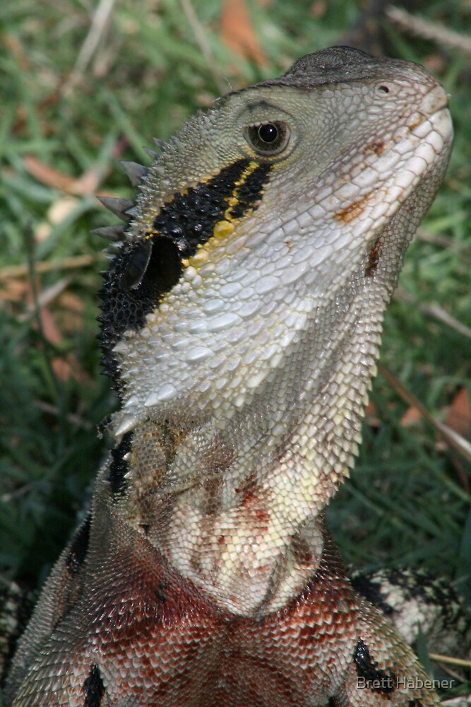 Bearded Dragon by Brett Habener
