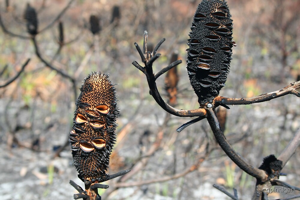 Banksia Men after fire by gpinniger