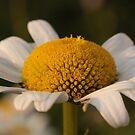 Daisy by camerahappy