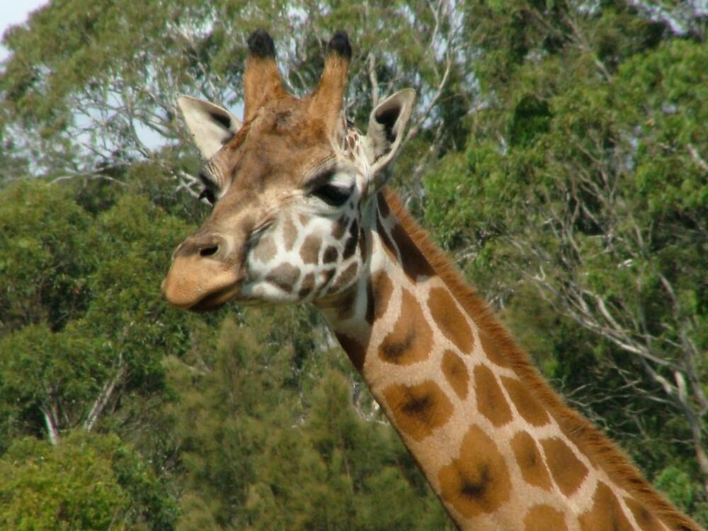 Giraffe by Lynn