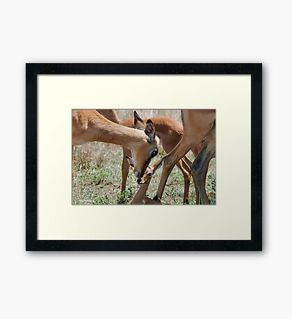 OBVIOUS AFFECTION - THE  IMPALA  - Aepyceros melampus petersi Framed Print
