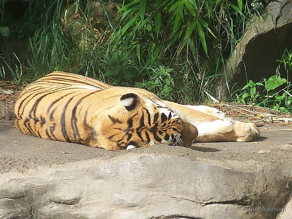 Bengal Tiger in the sun by brennysmom