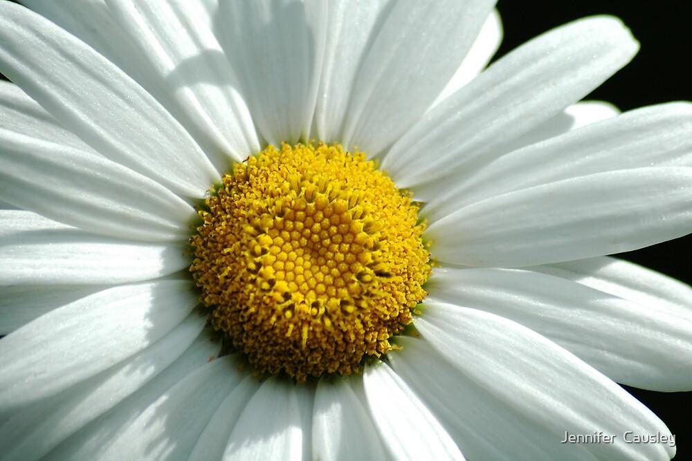 Sunshine Daisy by Jennifer  Causley