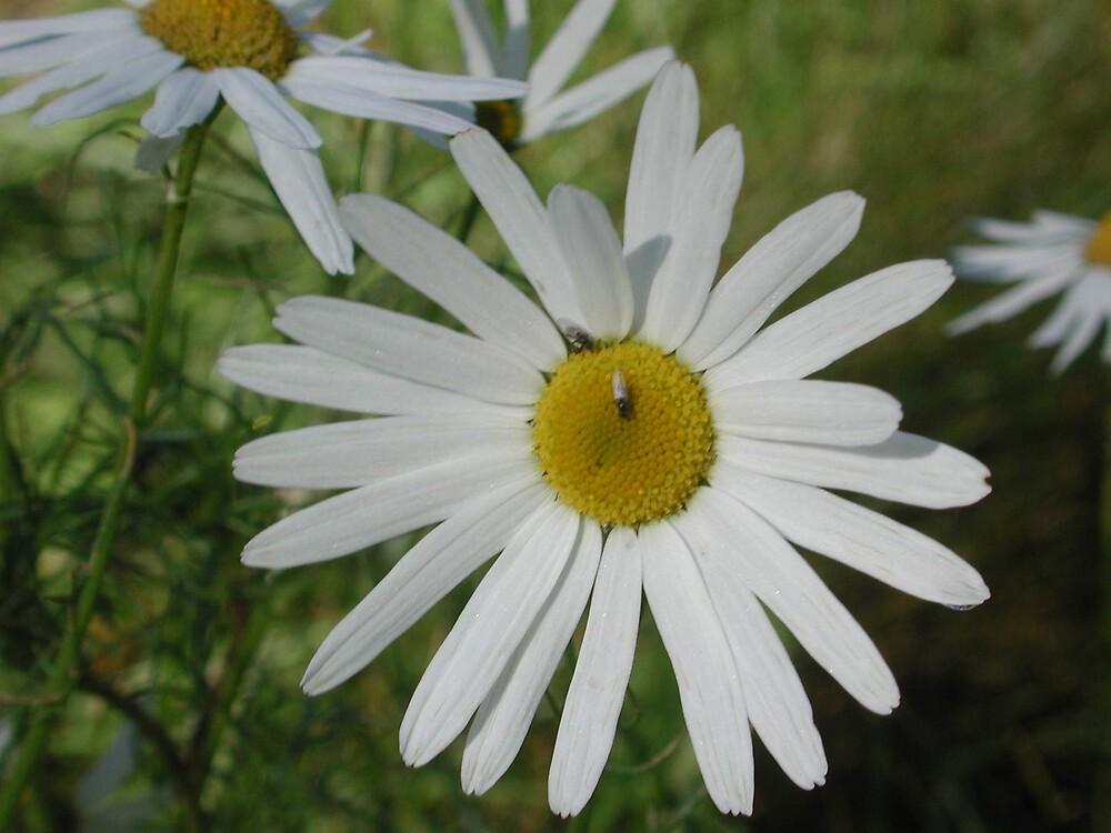 Daisy 1 by SunnyDay
