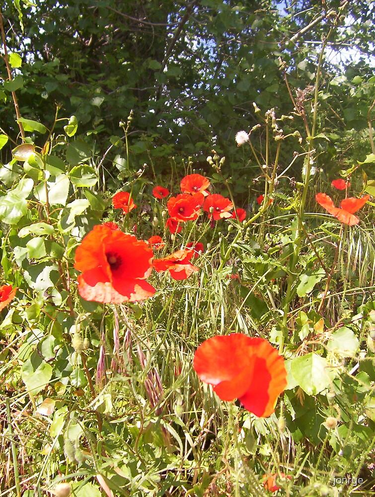 French poppies by jonrye